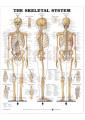Medical and Anatomical Charts 4